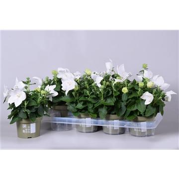 MoreLIPS® Platycodon grandiflorus 'Astra White'