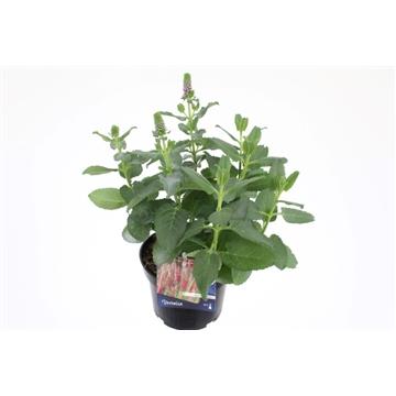 Veronica spicata rotfuchs