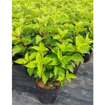 Hydrangea paniculata 'Silver Dollar' C 4,6