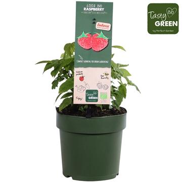 Rubus Lowberry Little Sweet Sister®