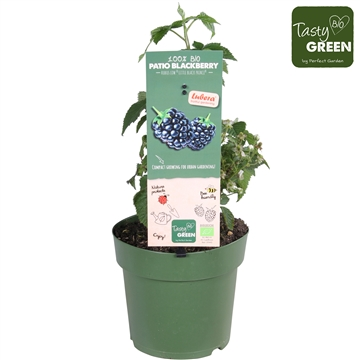 Rubus Lowberry Little Black Prince®