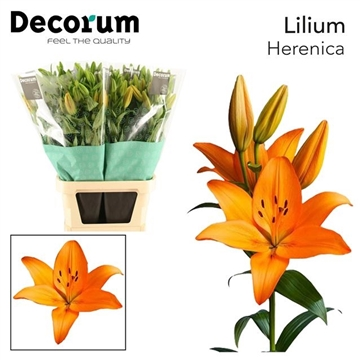 LI LA HERENICA Decorum