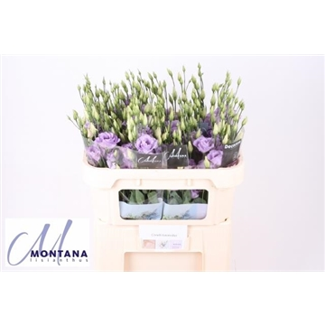 Lisianthus Corelli lavender 70 cm