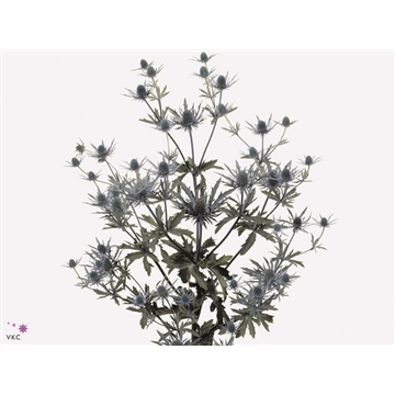 Eryngium Orion Questar