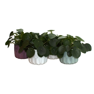 L 651 with Pilea Peperomioides 12 cm