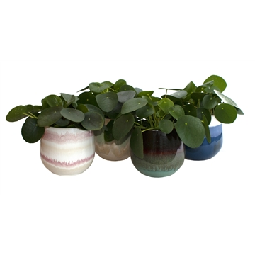 L 652 with Pilea Peperomioides 12 cm