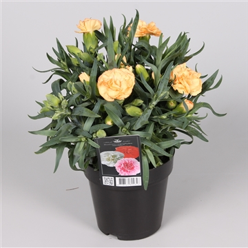 Dianthus Adorable Geel (Yellow Mel)