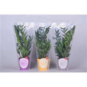 MoreLIPS® Zamioculcas Zamiifolia Zanzibar® 8+ in potcover & draagtas