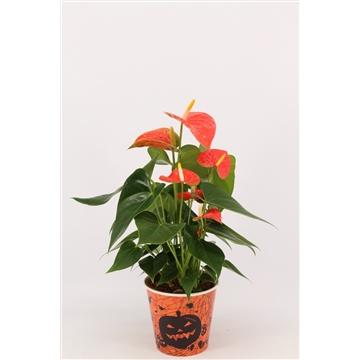 Halloween - anthurium oranje in papercup - diamond