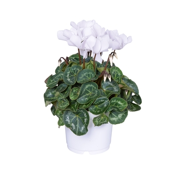 Cyclamen Super Serie Allure in Ton sur Ton kweekpot wit