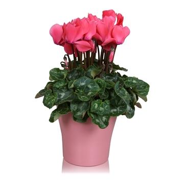 "Cyclamen in roze ""Bombé"" keramiek"