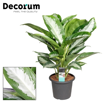 Aglaonema Diamond Bay deco pot (Decorum)