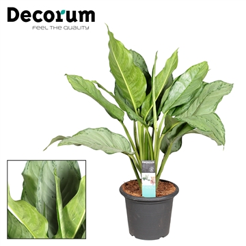 Aglaonema Freedman in deco pot (Decorum)