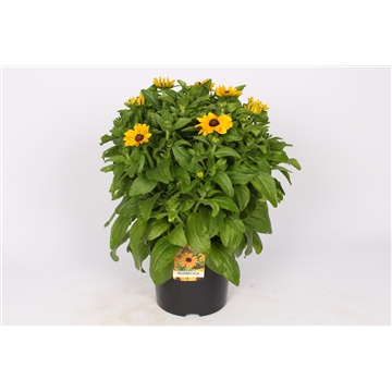 Rudbeckia Speedy Smiley P23