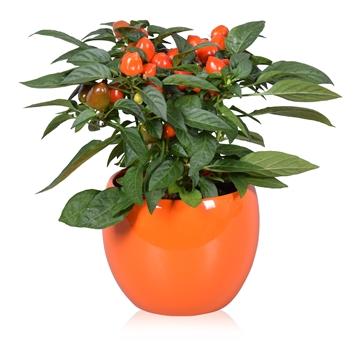 Capsicum annuum Samba Ton sur Tons in oranje Lisa keramiek