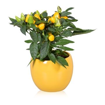 Capsicum annuum Samba Ton sur Ton in geel Lisa keramiek