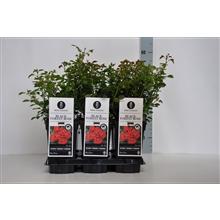 Artikel #360908 (363551490000: Rosa (P) Black Forest Rose ®, C3)