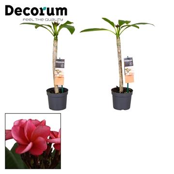 Plumeria 13 cm Fat buds pink flower