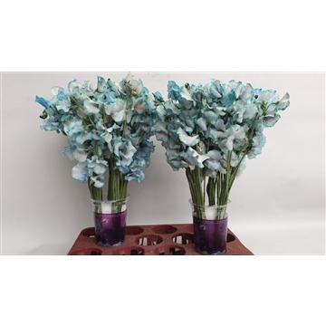 Lathyrus Blue Magic