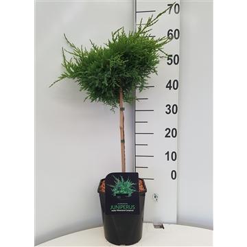 Juniperus med. Pfitzer.Compacta