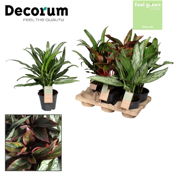 Aglaonema gemengd deluxe (Red & Green) Feel Green (Decorum)
