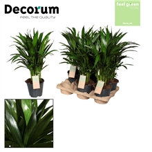 Dypsis lutescens (Areca) Feel Green (Decorum)