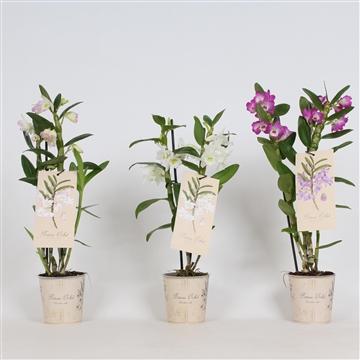 Botanic orchid 2 tak 8-12+  mix dendrobium nobile