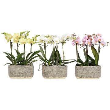 Phal. kolibri mix 4 spike tree twins pot