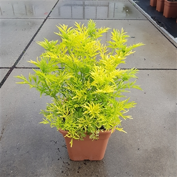 Sambucus racemosa 'Golden Tower' ®