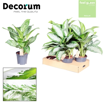 Aglaonema gemengd  Feel Green (Decorum)