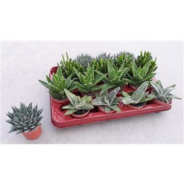 Succulenten mix 4 soorten