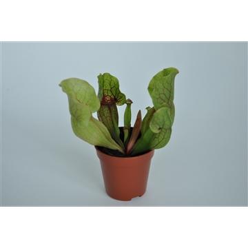 Sarracenia Clementina