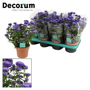 DECORUM-Aster Showmaker Endless Blue