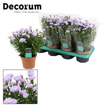 DECORUM-Aster Showmaker Lilac Sunset