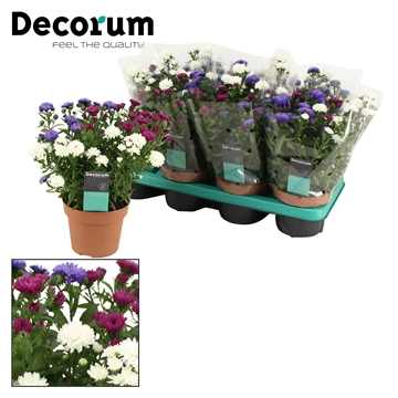 DECORUM-Aster Showmaker Trio