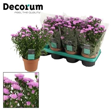DECORUM-Aster Showmaker Baby Pink