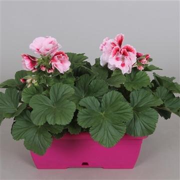 MoreLIPS® Pel. Grand. in roze duobakje