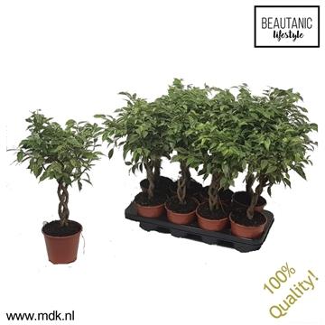Ficus Nina