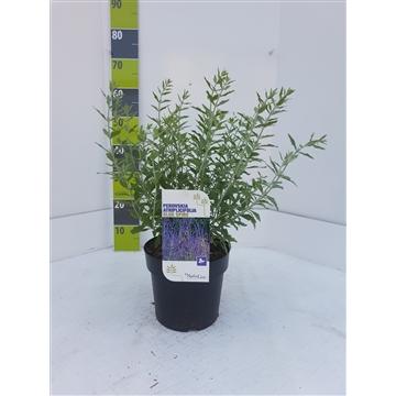 Perovskia atriplicifolia 'Blue Spire' C 4,6