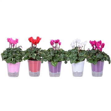 Cyclamen Super Serie Allure in Ton sur Ton in transparante pot met stick