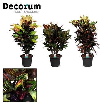 Croton vertakt gemengd in deco pot (Decorum)