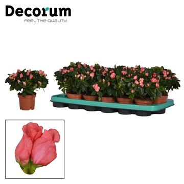 Azalea 9 cm Eiger Decorum