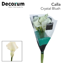 Zantedeschia Crystal Blush