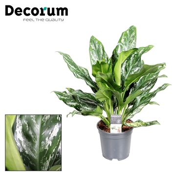 Aglaonema Splash (Decorum)