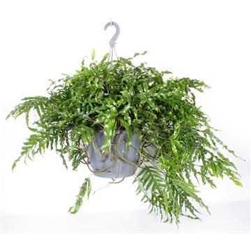 Microsorum diversifolium XXL