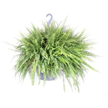 Nephrollepis Green Lady XXL