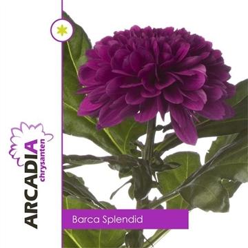 CHR G BARCA SPLENDID Arcadia