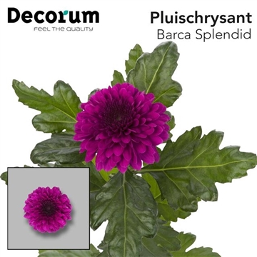 CHR G BARCA SPLENDID P100Decorum