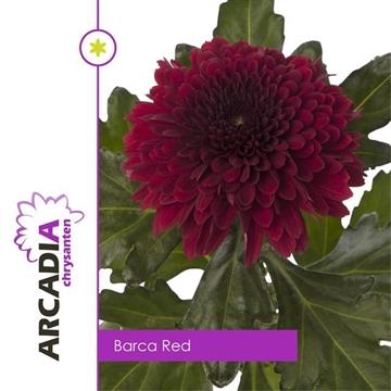 CHR G BARCA RED Arcadia