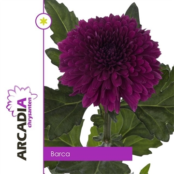 CHR G BARCA Arcadia